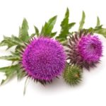 Milk thistle weight loss